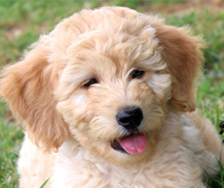Kaos Farm Goldendoodles Miniature Goldendoodle Puppies, NC