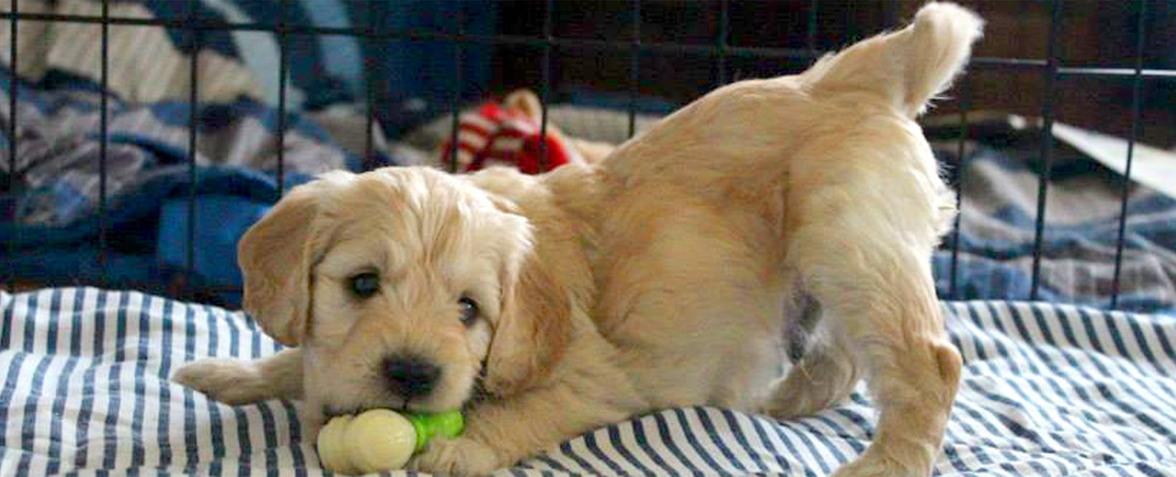 Kaos Farm Goldendoodles Miniature Goldendoodle Puppies, NC