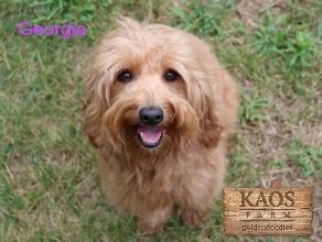 Meet Kaos Farm Goldendoodle Moms